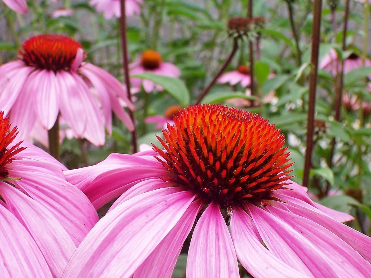 Antiviral Herb Echinacea Root