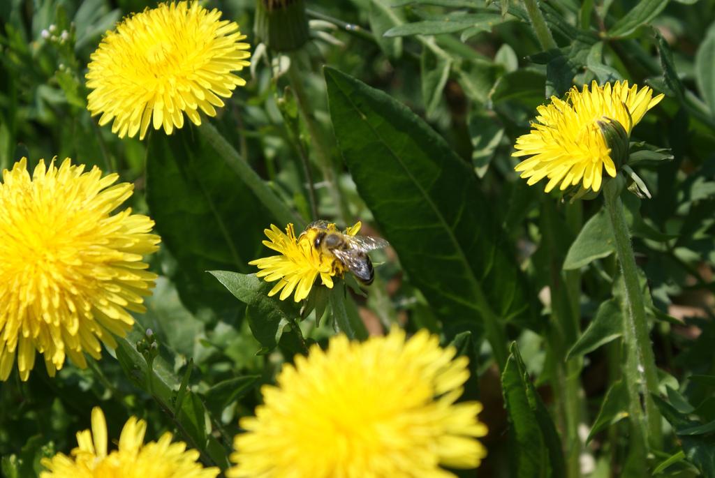Antiviral Herb Calendula