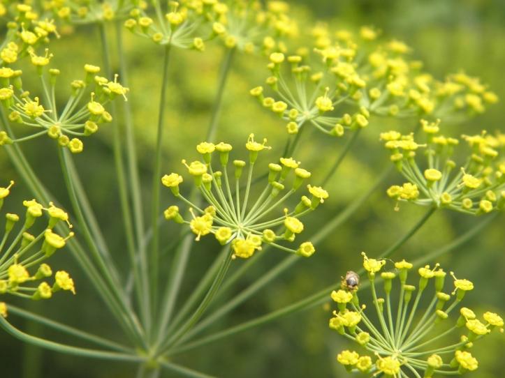 Antiviral Herb Fennel