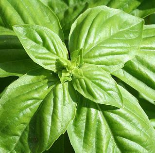 Antiviral Herb Basil