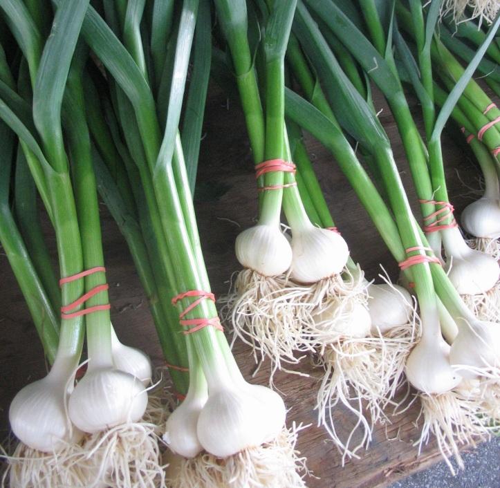 Antiviral herb Garlic