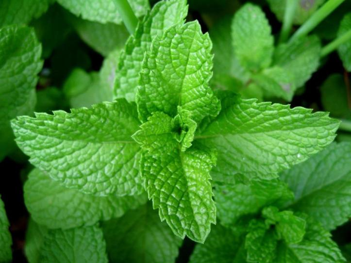 Antiviral Herb Peppermint