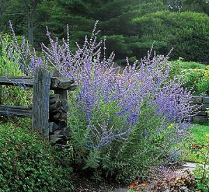 Sage plant growing by wooden fence