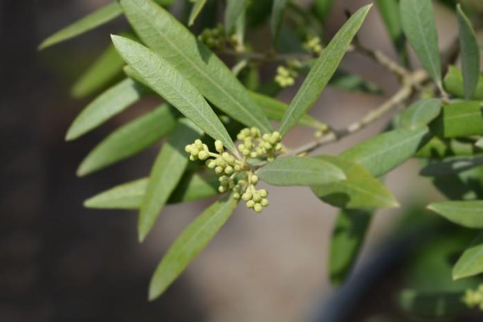Olive leaf dried herbs